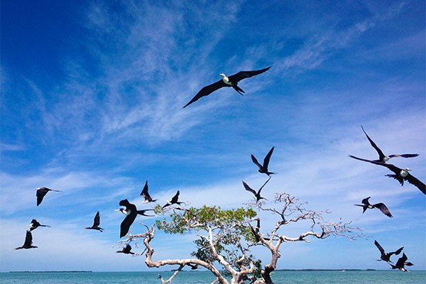 Frigate Birds Flying from Mangroves