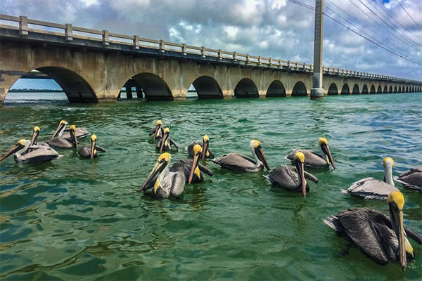 Pelicans Next to The Old Railroad Bridge
